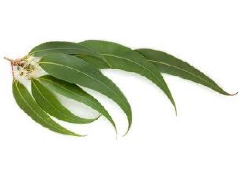 Eucalyptus Radiata Essential Oil (Eucalyptus radiata Siebold)
