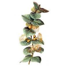 Eucalyptus Lemon Essential Oil (Eucalyptus citriodora)