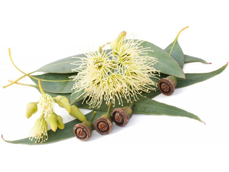 Eucalyptus Smithii Essential Oil (Eucalyptus smithii)