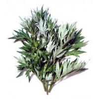 Mugwort  Great Essential Oil (Artemisia arborescens)