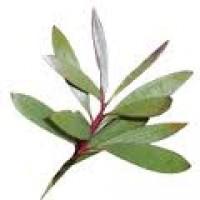 Nerolina Essential Oil (Melaleuca quinquinervia)
