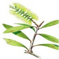 Niaouli Essential Oil (Melaleuca quinquinervia)