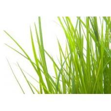 Palmarosa Essential Oil (Cymbopogon martinii v.motia)