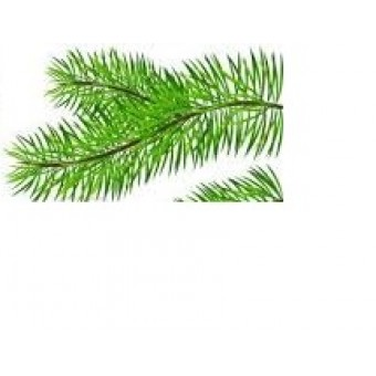 Pine (Scots/Norway) Essential Oil (Pinus sylvestris)