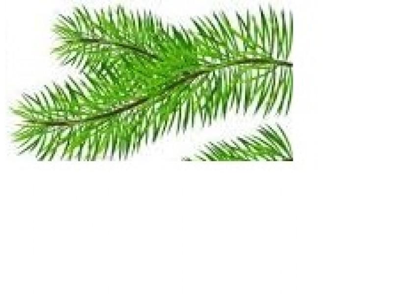 Pine Essential Oil (Pinus sylvestris)