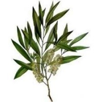 Tea Tree Essential Oil (Melaleuca alternifolia)