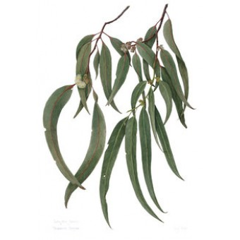 Eucalyptus Globulus Essential Oil 10ml