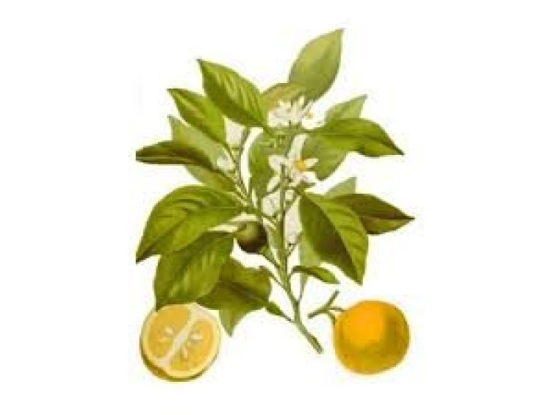 Petitgrain Bigeradier Essential Oil (Citrus aurantium)
