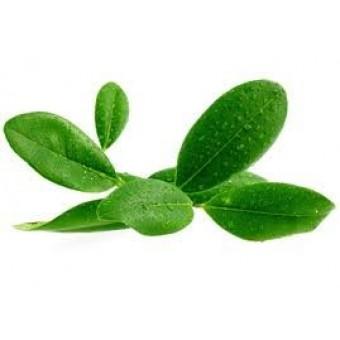Ravensara Organic Essential Oil (Ravensara aromatica)