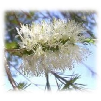 Rosalina Essential Oil (Melaleuca ericfolia)