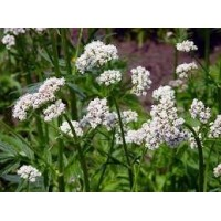 Valerian Essential Oil (Valeriana officinalis L.)