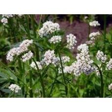 Valerian Essential Oil (Valeriana officinalis L.)