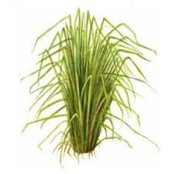 Vetiver, Bourbon Essential Oil (Vetiveria zizaniodes)