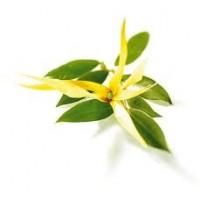Ylang Ylang, E. Superior Essential Oil (Cananga odorata)
