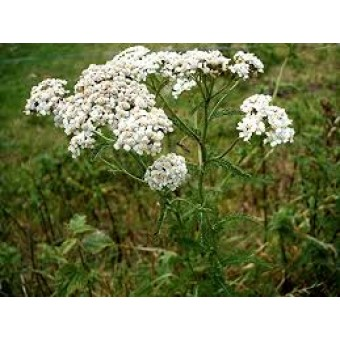 Yarrow Essential Oil (Organic)