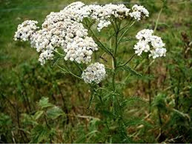 Yarrow Essential Oil ( Achillea millefolium)
