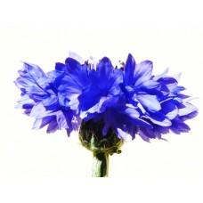 Cornflower Hydrolat, Organic