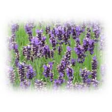 Lavender Hydrolat, Organic