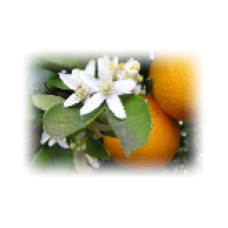 Orange Blossom Hydrolat, Organic