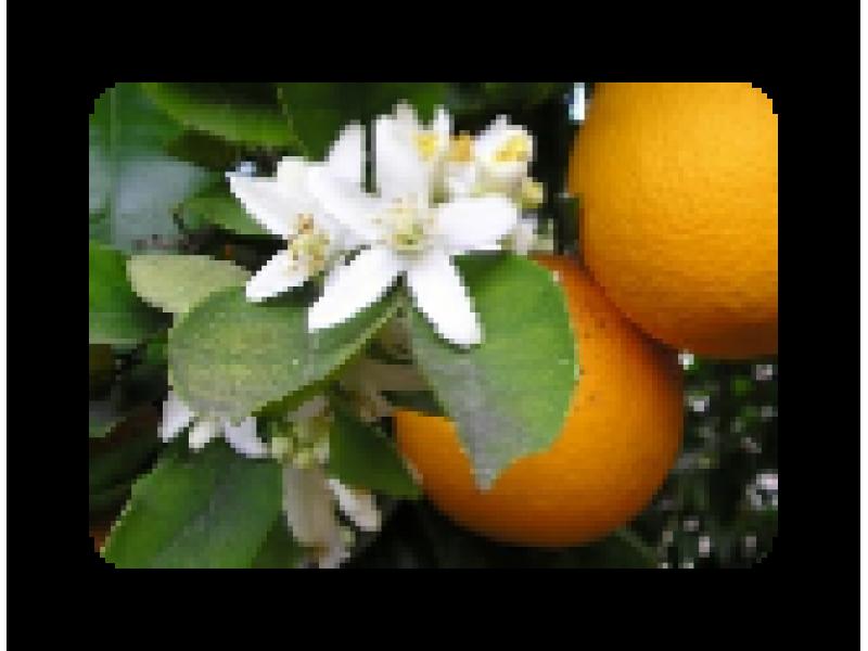 Orange Blossom Hydrolat, Organic