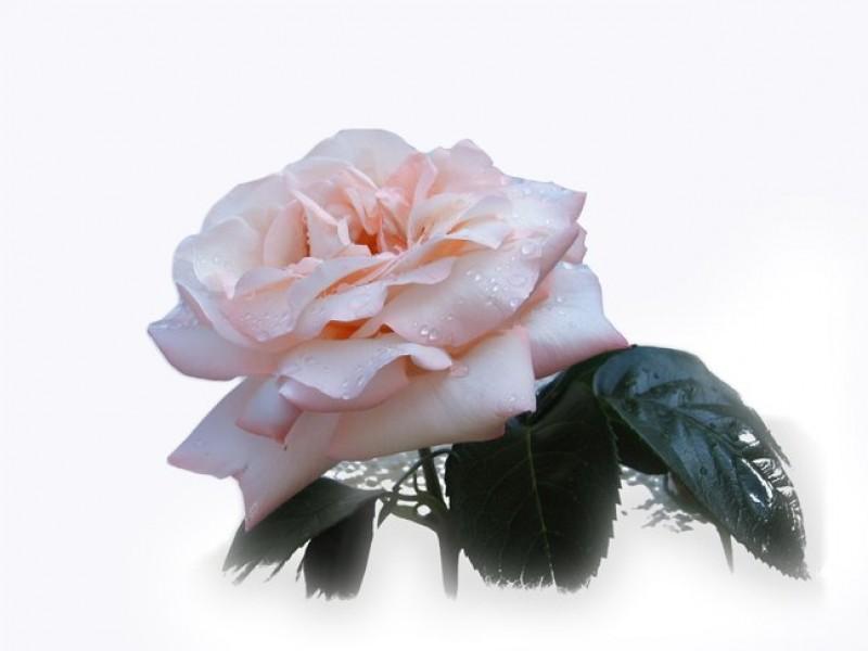 Rose Damascena Hydrolat, Organic