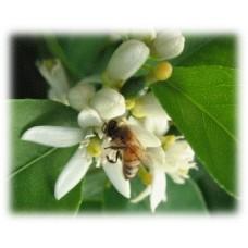 Lime Blossom Herbal Oil