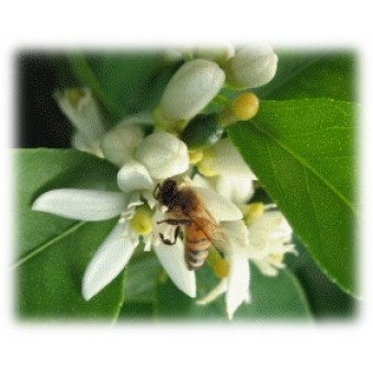 Lime Blossom Herbal Oil