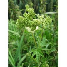 Meadowsweet Herbal Oil