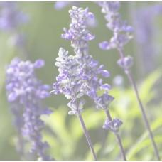 Cool Lavender Synergy