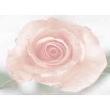 Gorgeous Rose Synergy