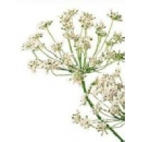 Carrot Seed Essential Oil (Daucus  carota)