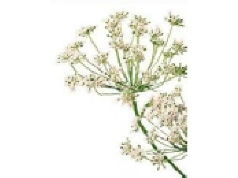 Carrot Seed Essential Oil, Organic (Daucus  carota)