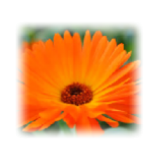 Calendula (Pot Marigold) Herbal Oil
